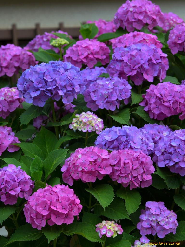 Гортензия кустовая цветы